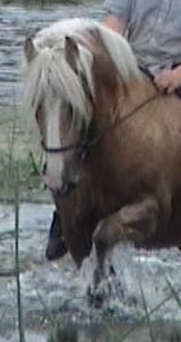 Rianna | Gypsy Vanner Mare for Sale | Palomino
