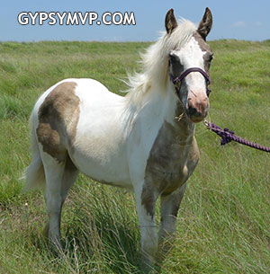 Gypsy Vanner Horses for Sale | Filly | Silver Dapple Tobiano | Deerinwater Ring of Fire