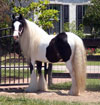 Gypsy Vanner Filly for Sale | Mare | Piebald | Addie