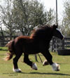 Gypsy Vanner Horses for Sale