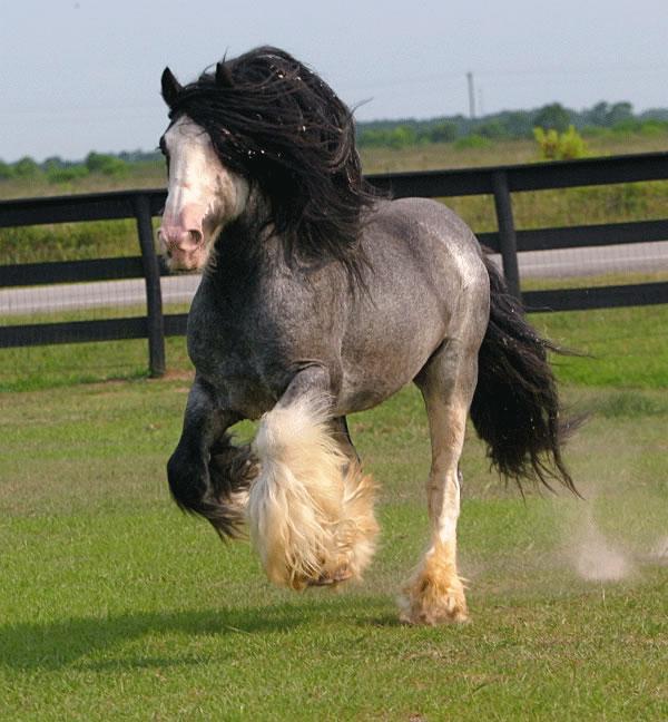 gypsy mvp bellagio gypsy vanner stallion for sale blue roan stallions for sale 600x648