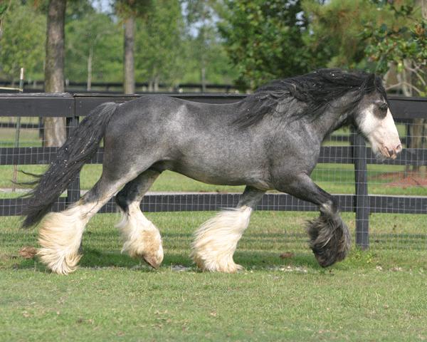 Bellagio- blue roan horses for sale