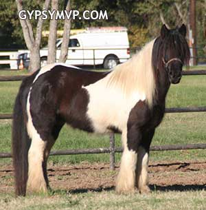 Bently, a Gypsy Vanner Gelding for Sale