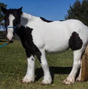 Gypsy Vanner Mare for Sale in Texas