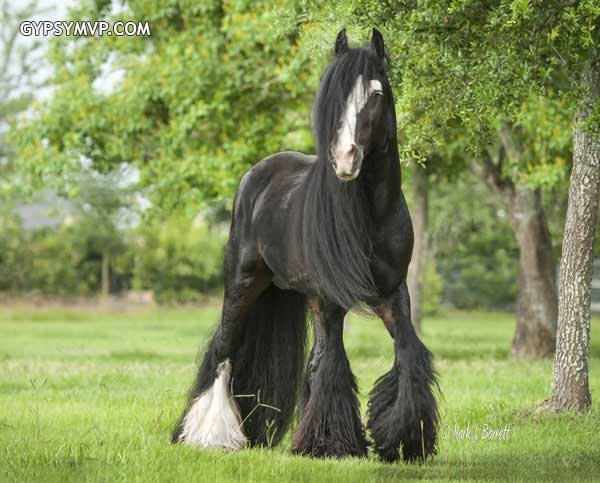 Gypsy Vanner Horses for Sale | Stallion | Black Bay | Billy Boy