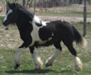 VIDEO: Gypsy Vanner Horse for Sale | Filly | Piebald | Blue Chip