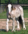 Blue Boy | Blue Roan / Blagdon Gypsy Vanner for Sale