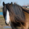 Coco Channel | gypsy Vanner Mare for Sale