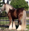 Gypsy Vanner Stallion Named Charisma