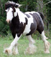 Charles Dickins | Gypsy Vanner Gelding for Sale