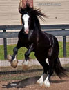 Gypsy Vanner Horses for Sale | Stallion | Piebald | Champions Lucky Charm