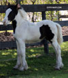 Gypsy Vanner Horses for Sale | Colt | Piebald | Crockett Kid