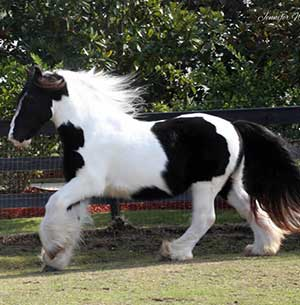 Gypsy Vanner Horses for Sale | Gelding | Piebald | Dasher