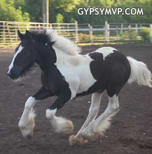 Gypsy Vanner Horses for Sale | Colt | Black & White | Dazzle Mi