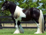 Gypsy Vanner Stallion -Dazzle Dance