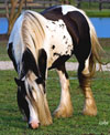 Delphi | Gypsy Vanner Mare for Sale