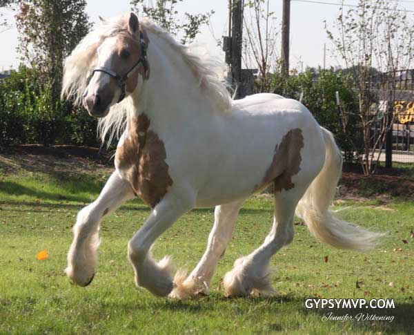Gypsy Vanner Horses for Sale | Stallion | Palomino and ...