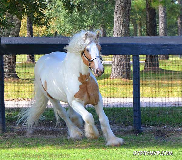 Colts For Sale >> Gypsy Vanner Horses for Sale | Stallion | Palomino and White | Dragon Fire
