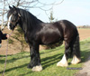 Faberge-Gypsy Vanner Gelding for Sale