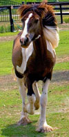 Flash Dance | Gypsy Vanner Colt for Sale