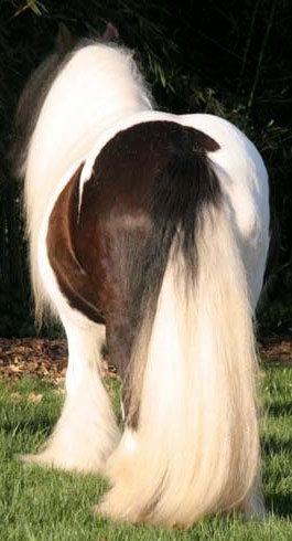 A Fine Example of the Gypsy Vanner Mares
