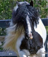 Gypsy Vanner Mare Named Glory