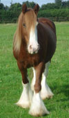 Gypsy Vanner Horse For Sale | Haley