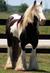 Henry-Gypsy Vanner Gelding for Sale