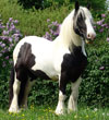 Jen | Gypsy Vanner Mare for Sale at Gypsy MVP