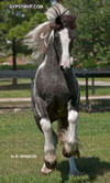 Gypsy Vanner Horses for Sale | Filly | Piebald | Jewel Box