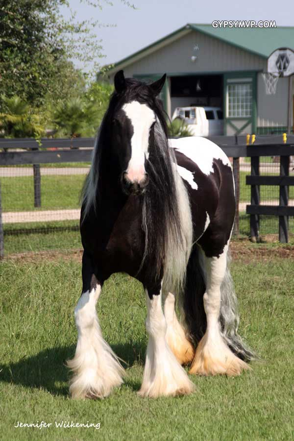 Gypsy Vanner Horses for Sale   Mare   Black and White   Layla