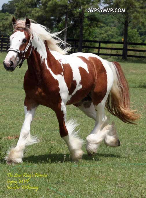 gypsy vanner horses for sale filly lion king princess horses for sale in 504x683