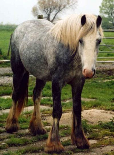 Dapple Grey Gypsy Vanner