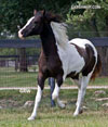 Gypsy Sport Horse for Sale | Filly | Gray | Pixie