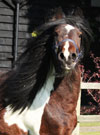 Noah | Gypsy Vanner Colt for Sale