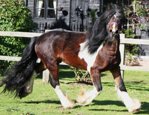 Noah is a majestic Gypsy Vanner Stallion-Wow!