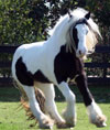Party Girl | Gypsy Vanner Horse for Sale | Mare | Piebald
