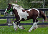 Gypsy Vanner Horses for Sale | Colt | Piebald | President