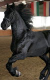 Prince | Black Friesian Stallion for Sale