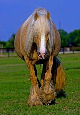 Gypsy Mvp Rianna Gypsy Vanner Mare For Sale Palomino