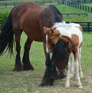 Gypsy Vanner Horses for Sale | Colt | Bay and White| Robinhood