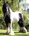 Rom-Rye | Gypsy Vanner Stallion for Sale | Piebald