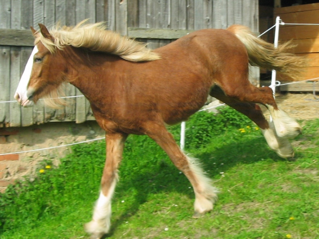 chestnut horses for sale rosalie chestnut stallionsred