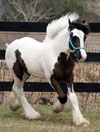 Gypsy Vanner Horses for Sale | Colt | Piebald | Sam