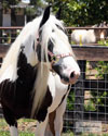 Gypsy Vanner Horses for Sale | Mare | Piebald | Shannon Willow