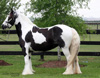 Gypsy Vanner Horses for Sale | Mare | Piebald | Smarties