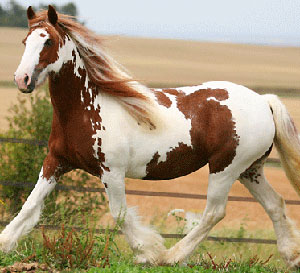 Gypsy Vanner Spotty-Mare, na Foal