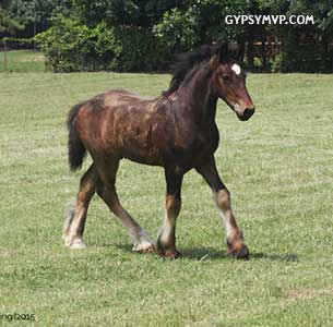 Gypsy Vanner Colt for Sale: Star Lord