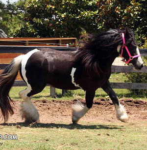 Gypsy Vanner Horses for Sale | Mare | Piebald | Sundays Best