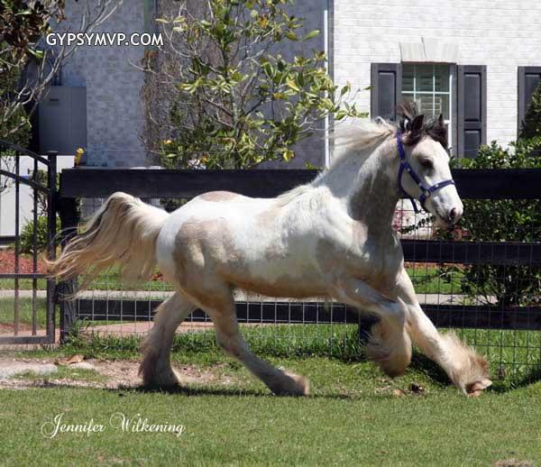 Buckskin Gypsy Vanner Colt